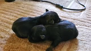 Cat meets miniature schnauzer puppies