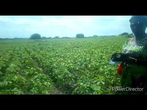 Tazama tunavowakabiz mashamba ya Bamia wateja wetu wa VJ AGRIMARKET solution limited. Karibun