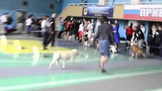 23.04.2016 Всероссийская выставка собак г.Липецк