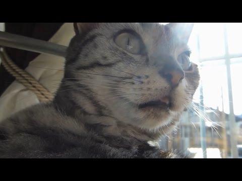 突然の急変ぶりが笑える猫!~何かに取り付かれ一心不乱になる様  Abruptly, Cat started to grooming by herself