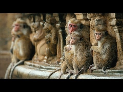 Disneynature's Monkey Kingdom - Official Trailer