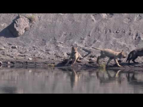 Wolf Pups Yellowstone National Park