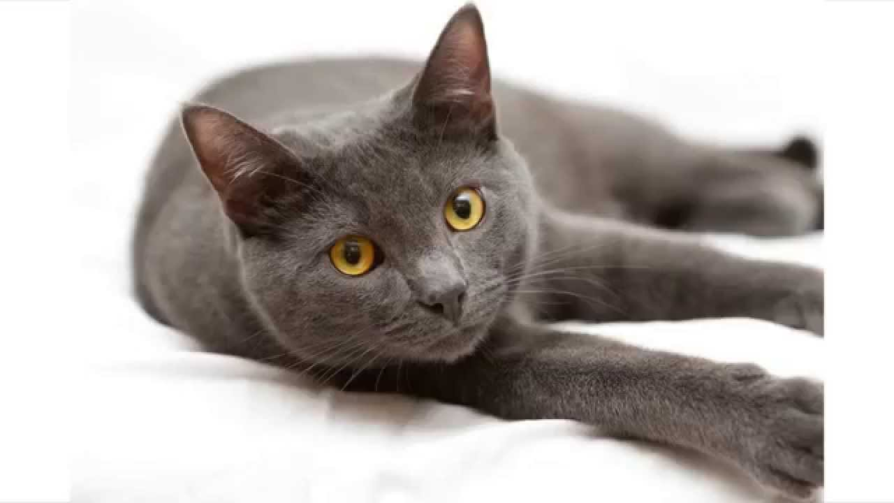 Blue Gray Cat And White