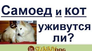 Кот и самоед- уживутся ли вместе? как уживется кот и самоед?