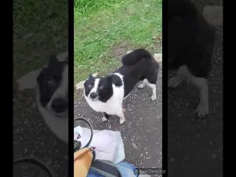 border collie omplacering