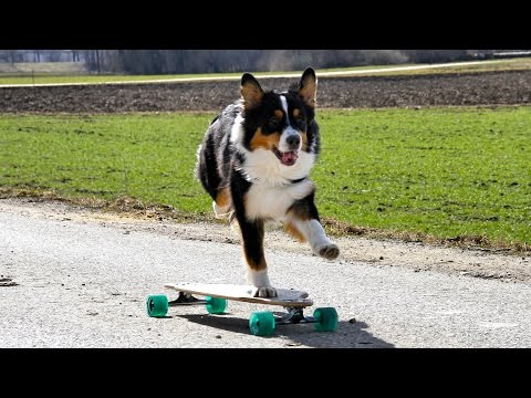 Australian Shepherd Dog Longboard Fun - awesome