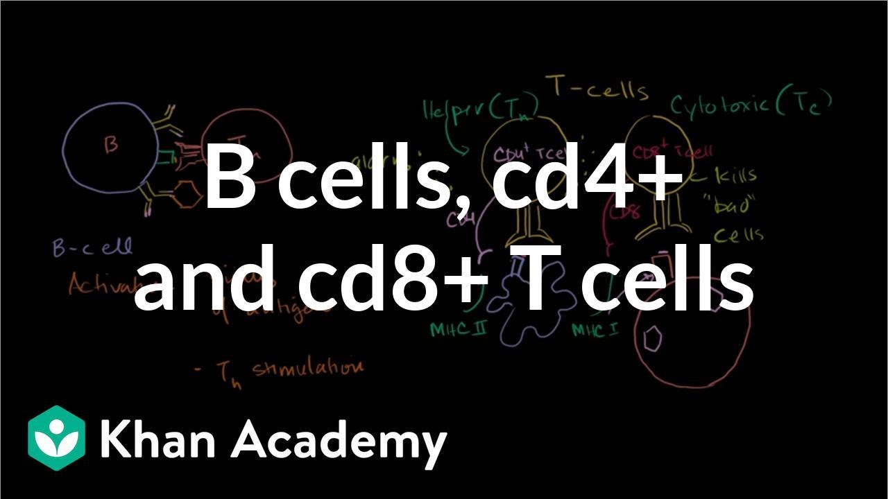 t cells and cd4 A t cell, or t lymphocyte, is a whereas thymocytes that interact well with mhc class i molecules mature into cd8 + cells a t cell becomes a cd4 + cell by down.