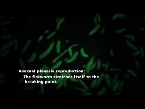 Planaria fission