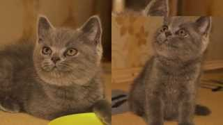 Британский котенок. British kitten
