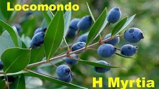 Locomondo - Η Μυρτιά | Locomondo - H Myrtia -  Audio Release