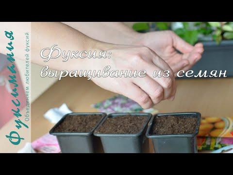 Фуксии: выращивание из семян
