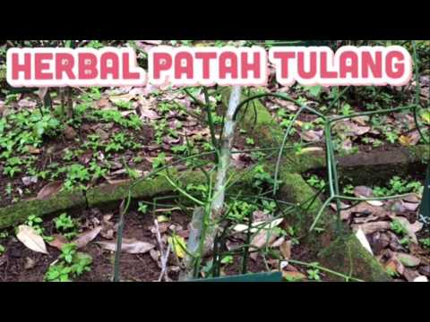 Herbal Patah Tulang:euphorbia tirucalli
