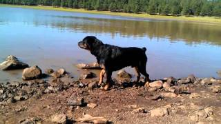 Rottweiler Barking At A Rock