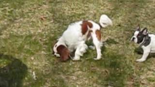 Chesapeake Bay Retr., King Charles Spaniel & French Bulldog