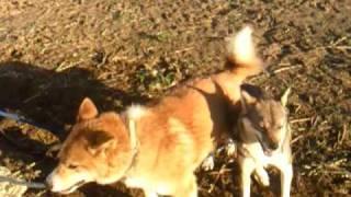 近くに2匹の犬を繋いでいたら喧嘩を始めました。