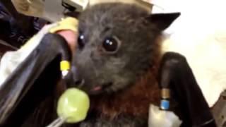 Летучая мышь ест виноград  смешное видео необычная ситуация хахаха весело приколы,funny videos