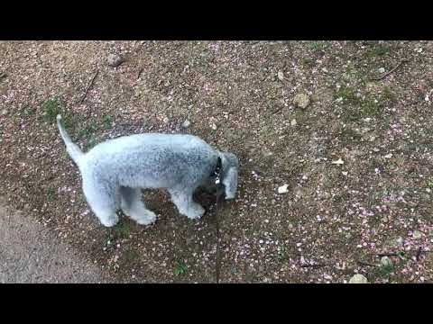 [Bedlington terrier] Spring /Walk