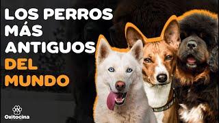 TOP 10 RAZAS DE PERROS MÁS ANTIGUAS DEL MUNDO