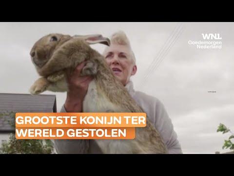 Grootste konijn ter wereld gestolen: voormalig Playboymodel looft 1150 euro uit voor gouden tip