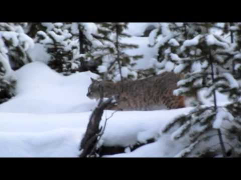 Christmas Eve 2011 Bobcat on Madison River in Yellowstone