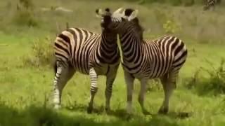 ◥◣ ◢◤ Поразительный Документальный фильм BBC о природе  дикой Африки