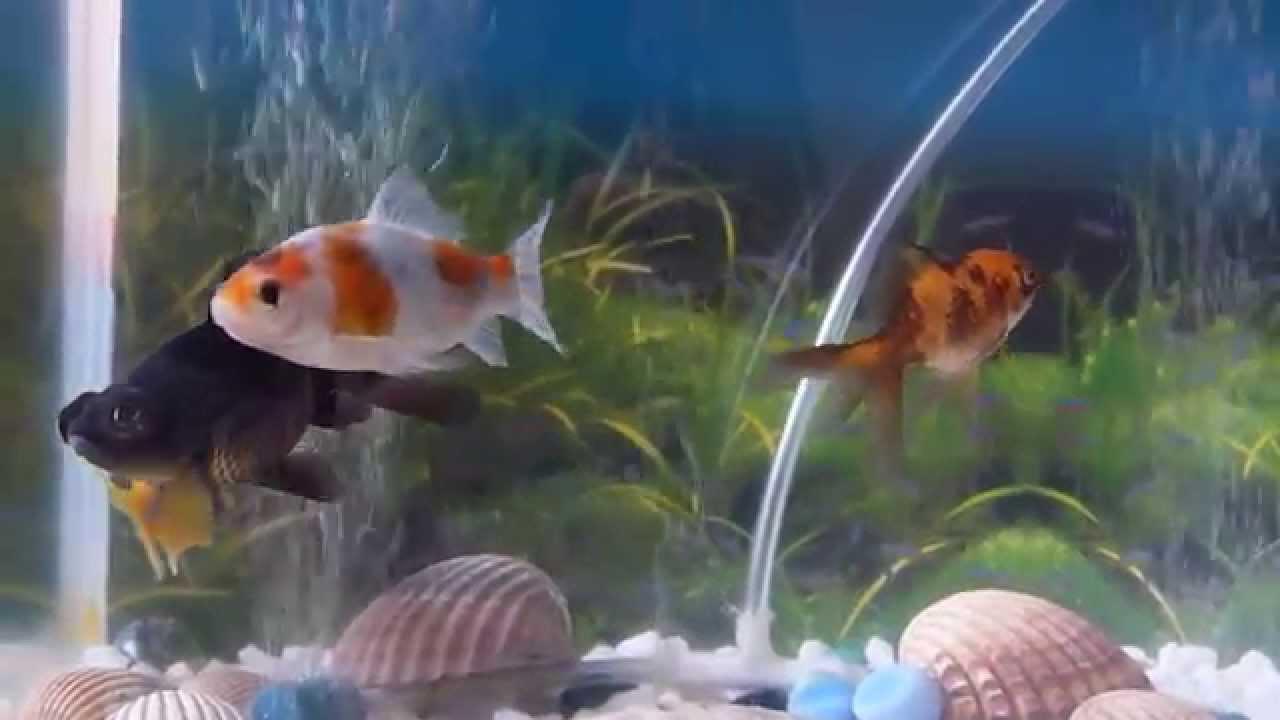 Acuario peces de agua fr a youtube for Peces de agua fria carassius