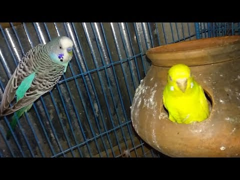 Cute Yellow & Blue Color Love Bird In The Cage