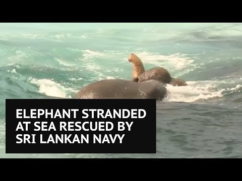 Navy rescue elephant dragged out to sea in Sri Lanka