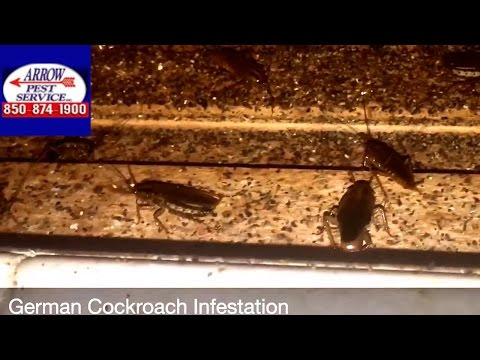 Roaches Taking Over Home in Panama City, FL - Arrow Pest Service