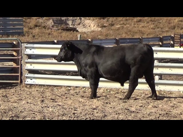 Connealy Angus Lot 237