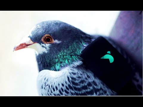 Pigeon Air Patrol to the rescue! Birds with backpacks track air pollution