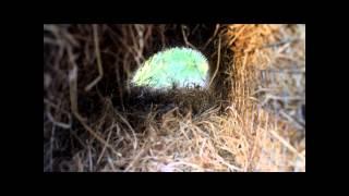 Mallard nest tubes: The Westmorland Wildfowlers Associations