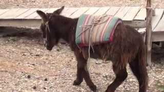 Un burro lanudo en la Isla del Sol, Provincia de Manco Kapac,