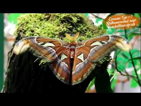 Самая большая бабочка в мире -- Attacus Atlas