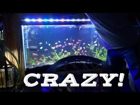 How I Got 100 Glofish! FOR FREE