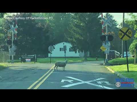 75 Goats, Sheep Break Free From Pen In New Jersey