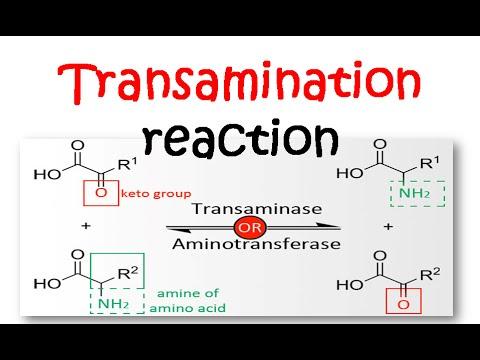 transamination and deamination