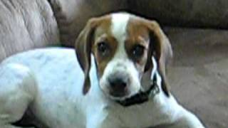 London Dogg - Cute, Funny Beagle Dog Howling