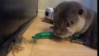 カワウソさくら カワウソ好物のサワガニあげてみた! Otter and otter's favorite crabs