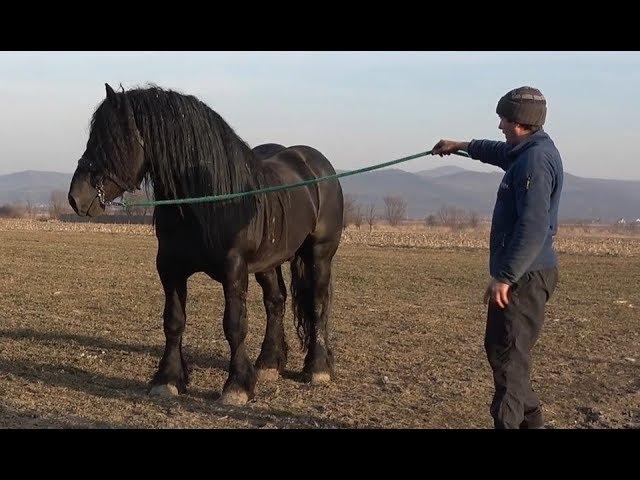 Cu armasarul Jaru la Monta - Proprietar Stelica de la Cluj - 2019
