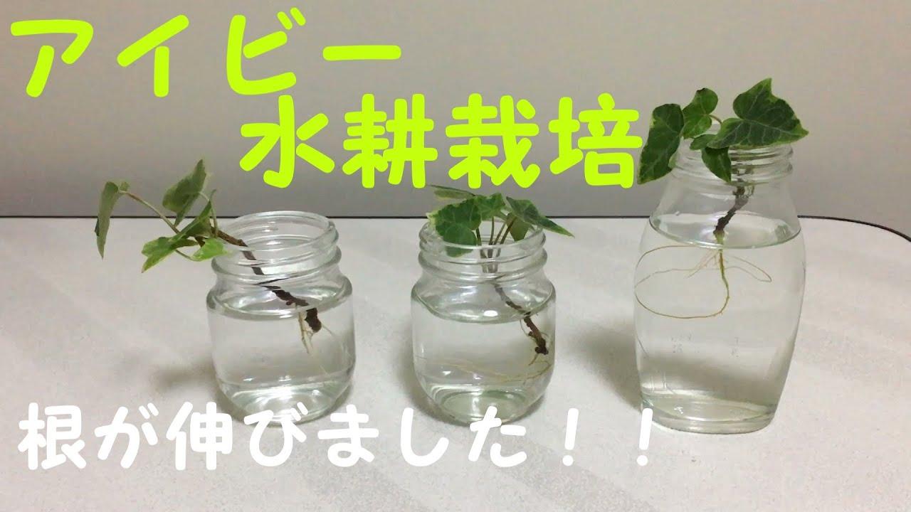 水栽培 アイビー