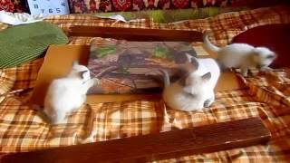 милейших сиамских котят продаем 8-966-158-50-36 цена 5000 р