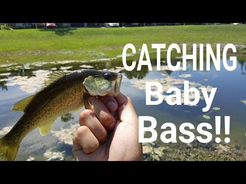 Bass fishing with minnows
