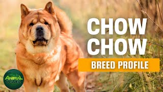 Chow Chow Dogs 101 | A Canine with a Unique Appearance and Distinctive Personality