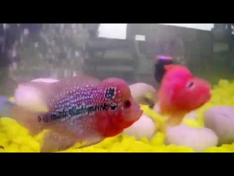 Flower Horn with Red parrot