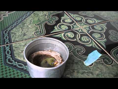 7-4-13 - Cách nuôi chim sâu của chị Huyền