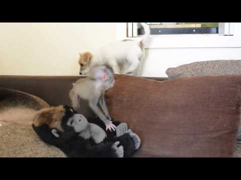 Baby monkey is best friends with dog puppy