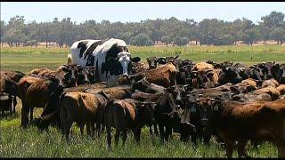 Knickers, la vaca gigante de Australia
