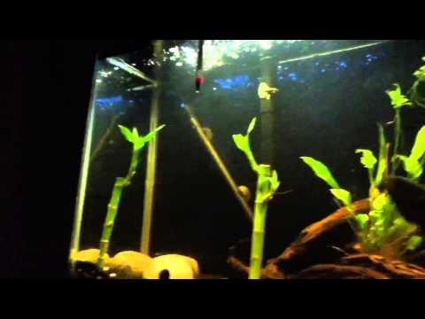 Angelfish In 55 Gallon Tank+convict Cichlid Update