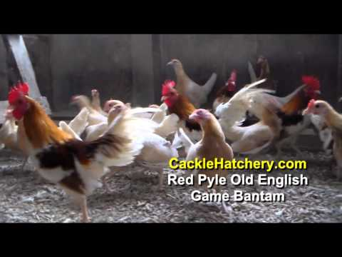 Red Pyle Old English Game Bantam Chicken Breeds (Breeder Flock) | Cackle  Hatchery